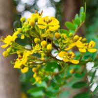 Cassia-Siamea Tinktur 50ml