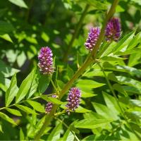 Süßholzwurzel Tinktur 50ml, Bio