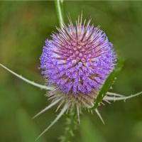 Wilde-Karde Tinktur 50/100 ml, Bio