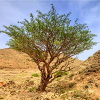 Weihrauch Tinktur 50/100 ml, Bio