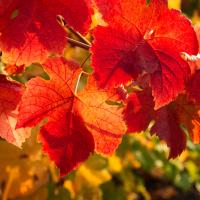 Rotes-Weinlaub Tinktur 100ml, Bio