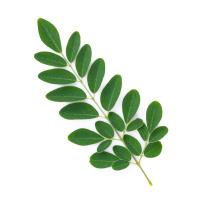 Moringa Oleifera 50/100 ml