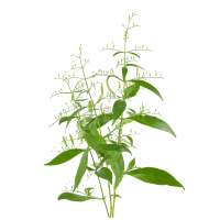 Andrographis Tinktur 50/100 ml, Bio