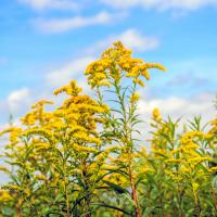 Goldrute Tinktur 50/100 ml, Bio