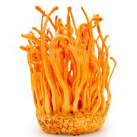 Cordyceps Pilz Tinktur 50/100 ml