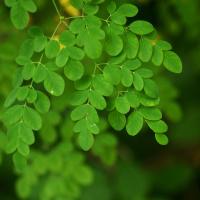 Moringa Oleifera 100ml